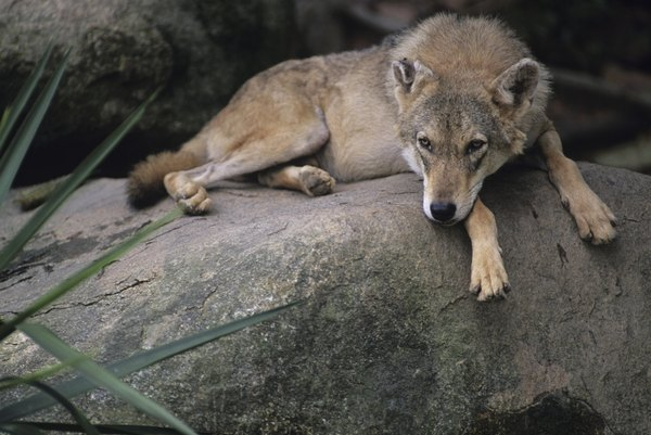 Dog Like Wolf In India