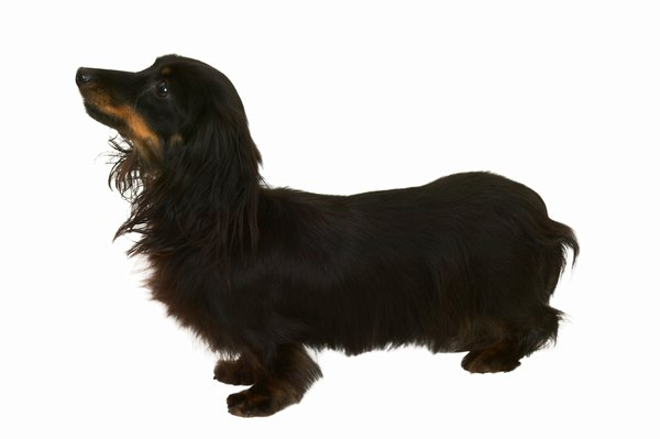 Dachshunds' long bodies are susceptible to back problems.
