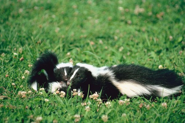 how to keep skunks away