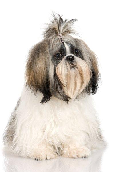 Shih Tzu Problems - Pets