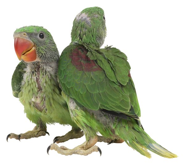 What Is the Difference Between African Ringneck and Indian ...