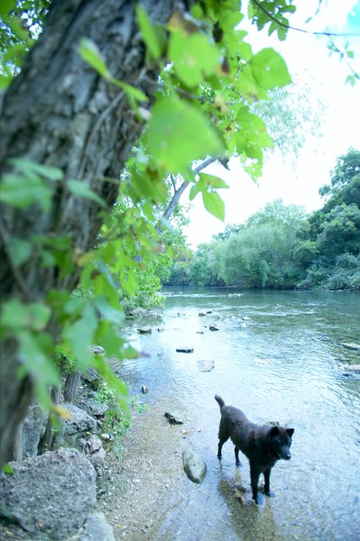 Throw some raw bacon into the stream and your pup's at risk for giardia and trichinosis.
