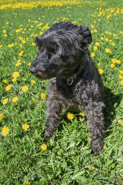 A schnauzer will enjoy exploring in the green grass.