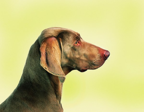 The Weimaraner's head is more refined than that of the Labrador retriever.