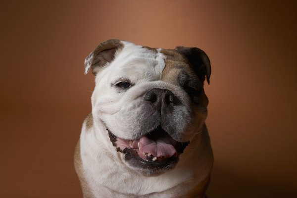 The mellow bulldog is a good choice for apartment life.