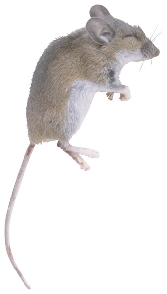 Where to buy live pinkie mice?