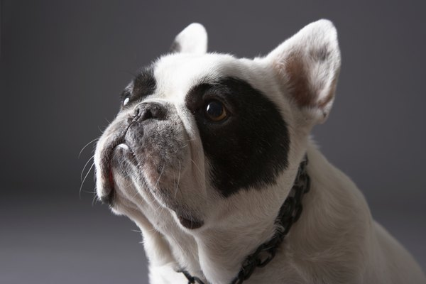 Bulldogs have undershot jaws due to breeding, medical conditions and the history of the dog.