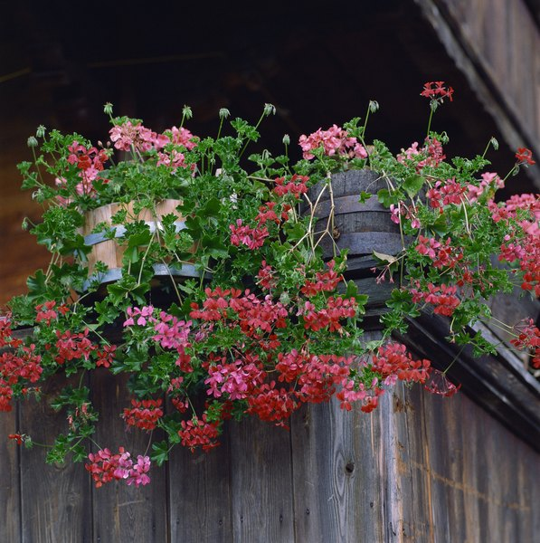 The best choices for summer window box planting home guides sf gate - How to care for ivy geranium ...