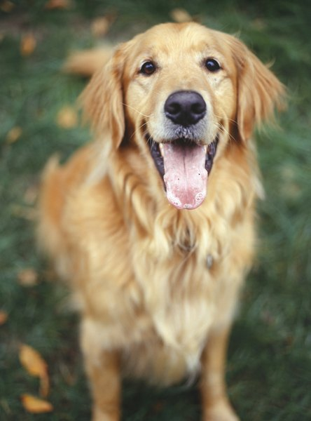how to get rid of golden retriever hair