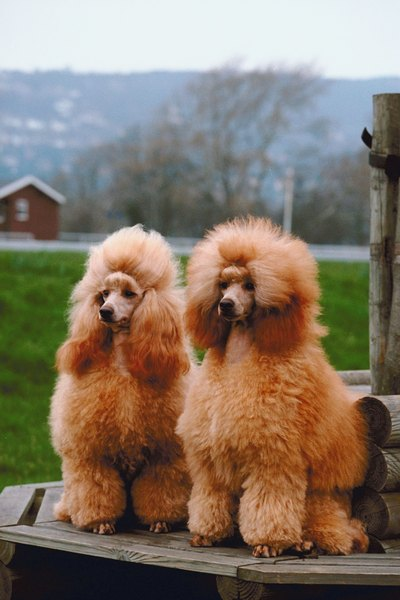 These two miniature poodles are wearing the puppy clip.