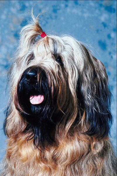 This Briard has the full, thick beard common in the breed.