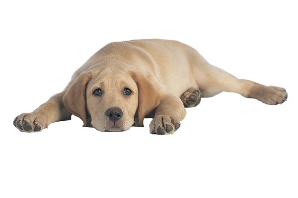 If your dog can lie down, you can teach him to crawl.