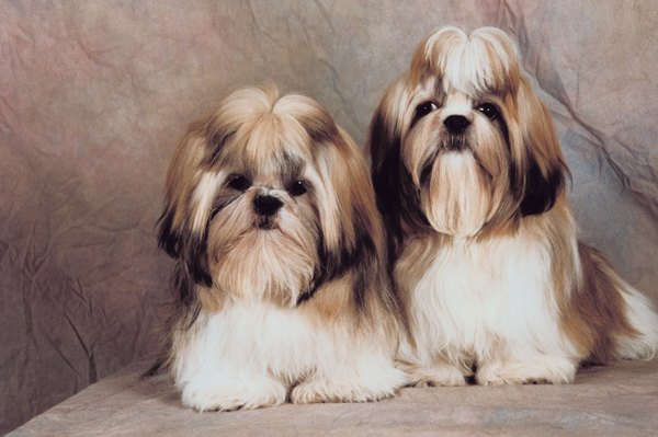 Shih tzus require frequent grooming so mats can't form.