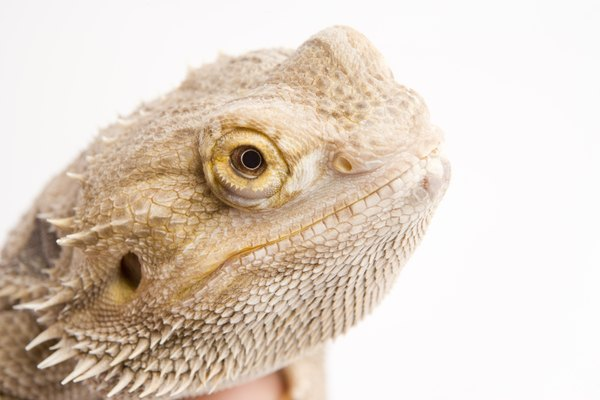 Can Some tell me the requirements for a bearded dragon?