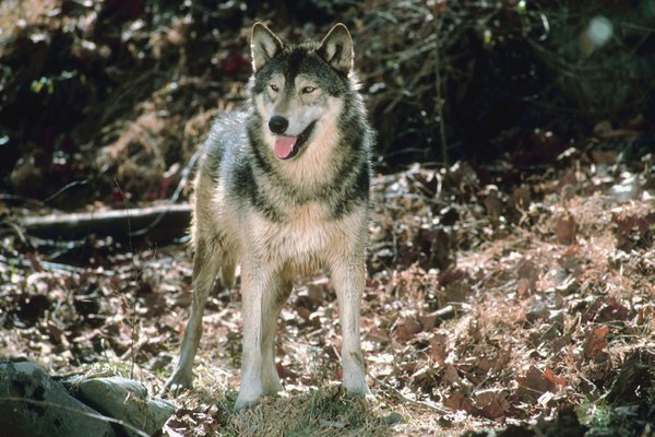 Facts About Wolves Amp Camouflage Animals Mom Me