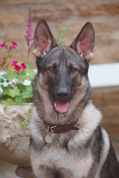 German shepherds are among the breeds that can excel at truffle tracking.