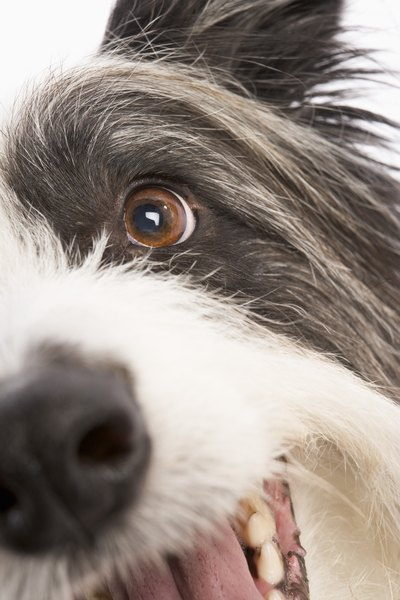 A healthy dog's eye should be clear and bright, and should not have discharge or excessive tears.