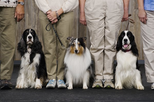 Dog shows and other large dog gatherings offer potential to share streptococci.