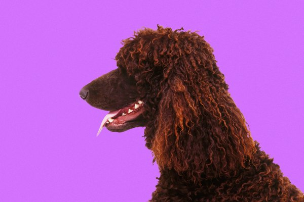 Standard poodles are the largest variety of poodle.