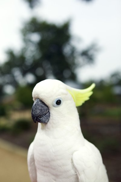 How To Care For A Baby Umbrella Cockatoo After Bringing It