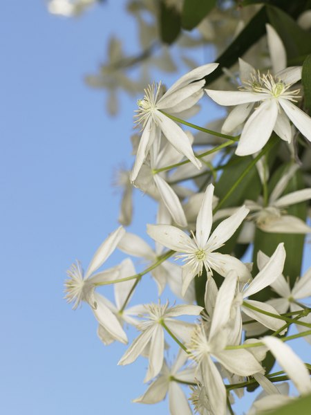 clematis is one of the most popular vining plants available - Vining Flowers