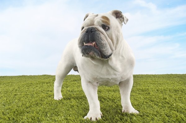 The classic English bulldog appears sturdy and muscular.