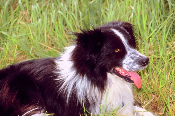 Border collies love to herd -- even kids and adults.
