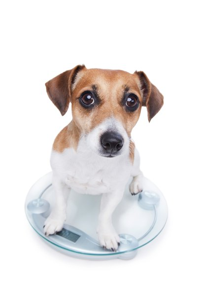 A dog lacking vitamin B12 will lose weight and may refuse to eat.