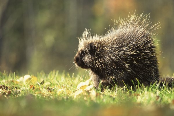 Porcupines are covered in spiked quills.