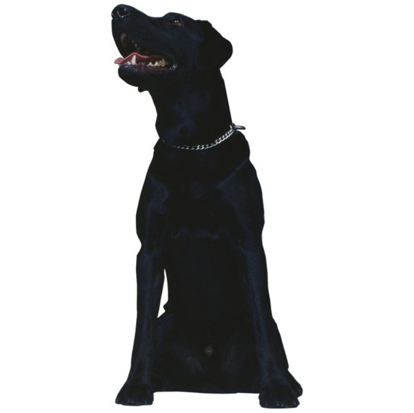 Black dogs are highly susceptible to overheating in the hot summer sun.