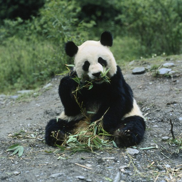 giant panda how chinas economic Pandas are being driven out of their habitats in southwest china, but  of the  tourism that fueled the local economy, perhaps, the study posits,.