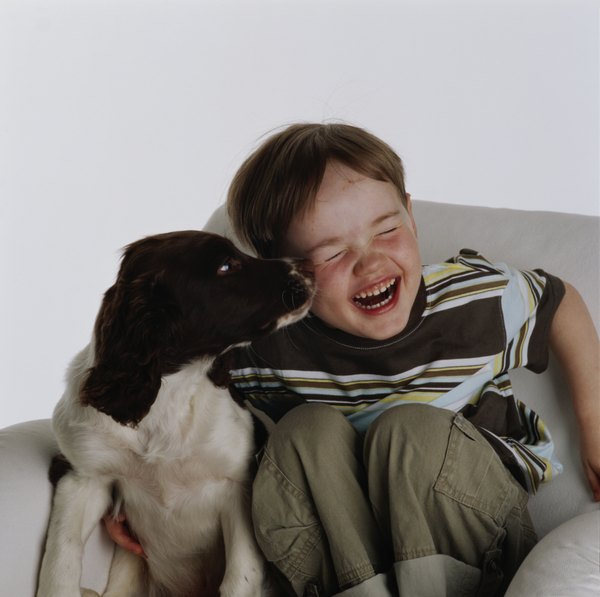 A springer spaniel is affectionate and makes a good family pet.