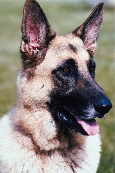 German shepherds are one breed at risk of developing epilepsy.