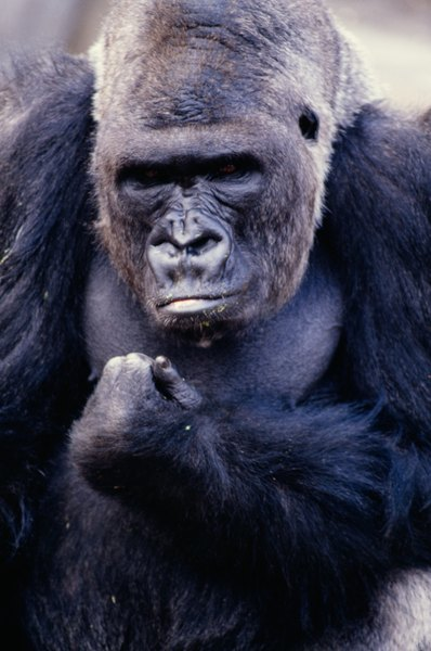 the main characteristics of the gorilla Learn about the eastland lowland gorilla, as well as the threats this species faces , what wwf is doing to protect its future, and how you can help.
