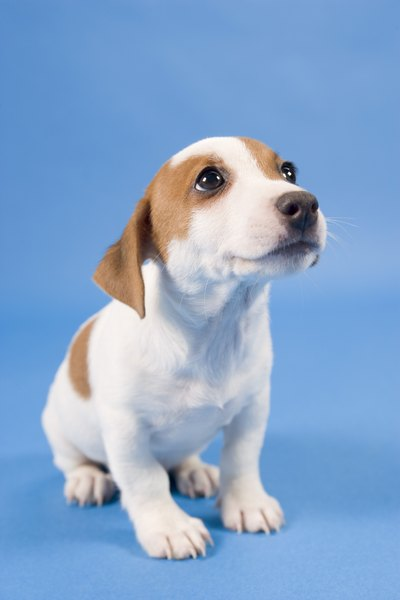 Puppy coughing may be a matter of size, environment or heredity.