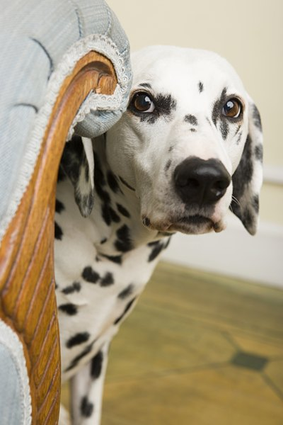 Your dog can suffer simultaneously from both separation anxiety and OCD.