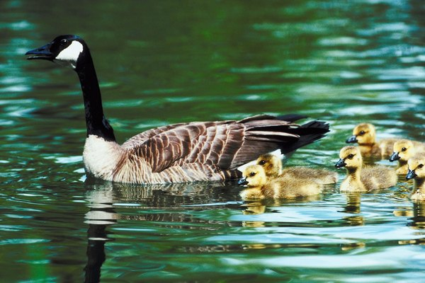 Canada Goose chateau parka online shop - How Long Is the Gestational Period for Geese? | Animals - mom.me