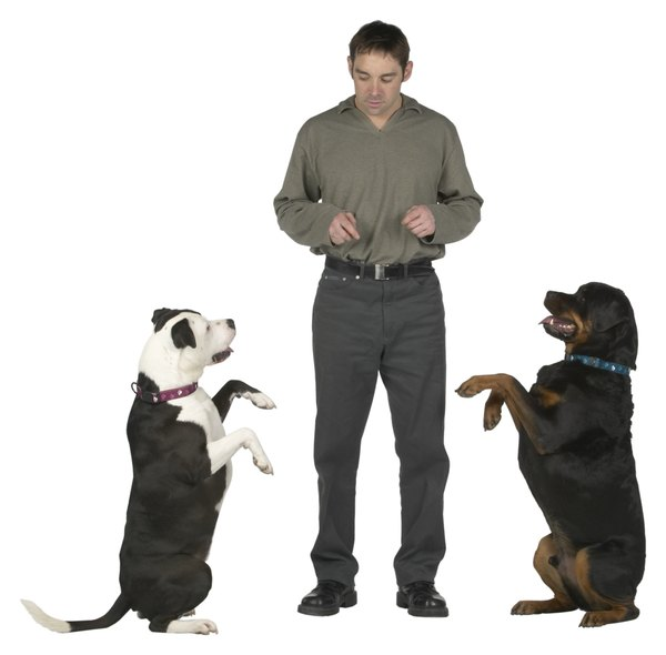 Teaching your dog new tricks provides mental stimulation while burning energy.