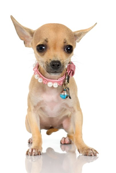 Small chihuahuas are charming and loving companions.
