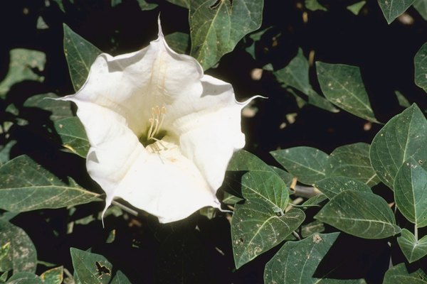 The fragrant blooms on a moon vine are enticing, but should be kept away from pets.