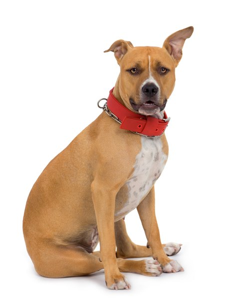 "The American Staffordshire terrier breed standard calls for ""an impression of great strength."""