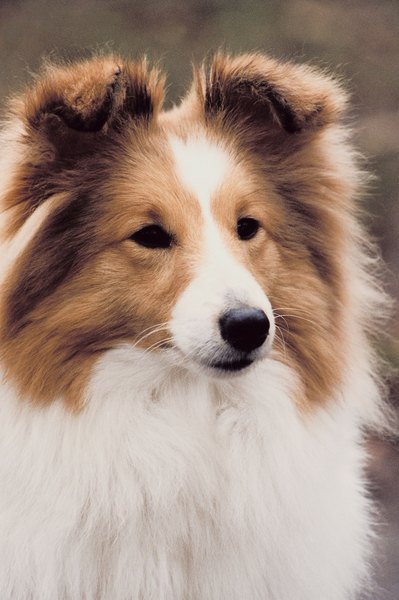Shetland Sheepdogs are active, intelligent dogs, and are considered highly trainable.