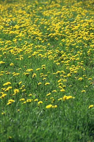 This field of dandelions could provide many health benefits for your dog.