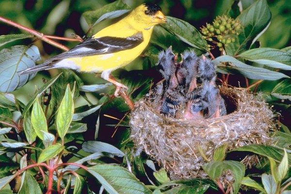 Yellow Finch Habitat & Bird House Preference | Animals ...