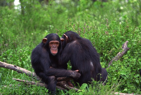 essay on chimpanzee for kids