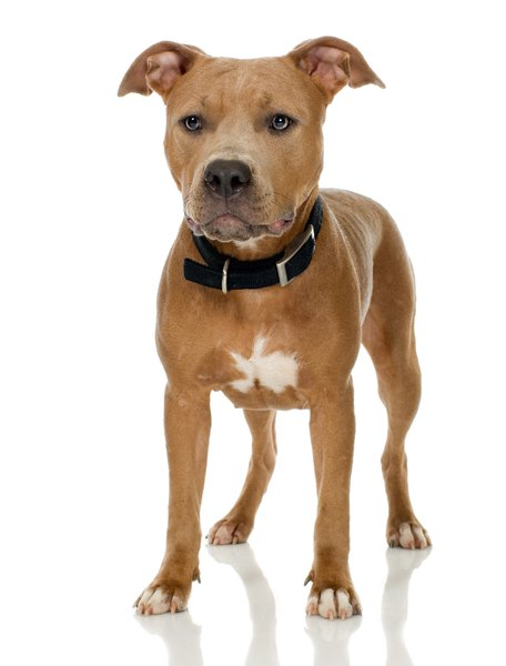 There are actually five dog breeds that could be considered pit bulls.