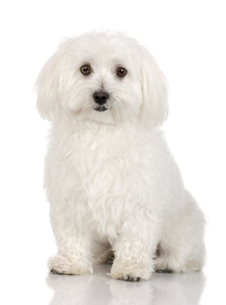 Facts About Teddy Bear Dogs Pets