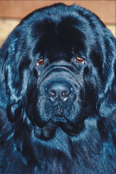 Newfoundland puppies often don't reach maturity until 2 years old.