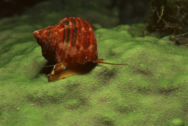 how to rid your freshwater tank of snails animals momme