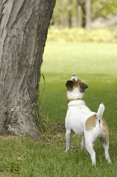 Whether a Jack Russell or Parson Russell, this terrier is smart, energetic and engaging.